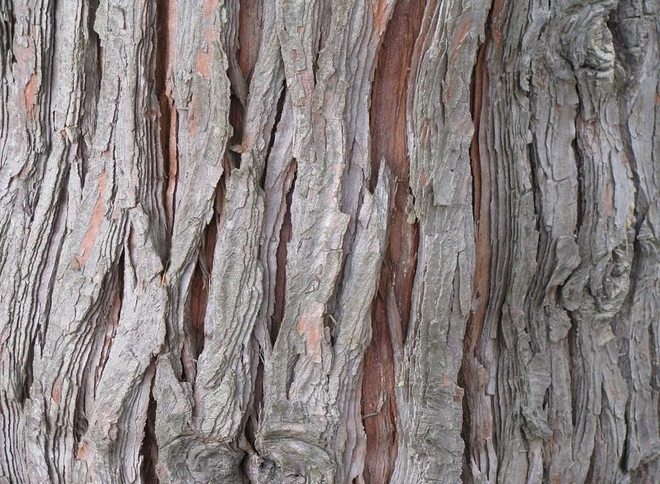 Cuál es el color del cedro